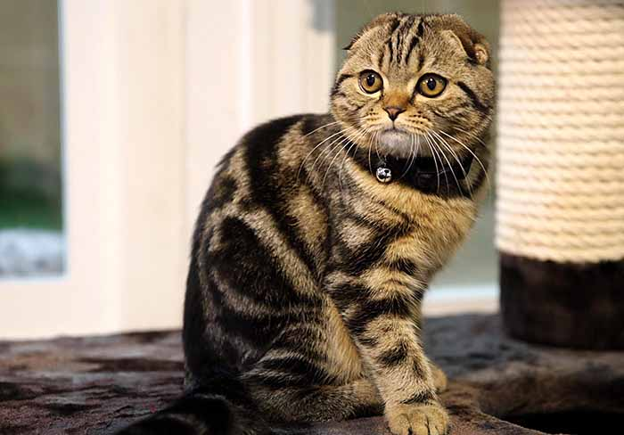 Cat breeds available for sale | Club Le PETit WCF