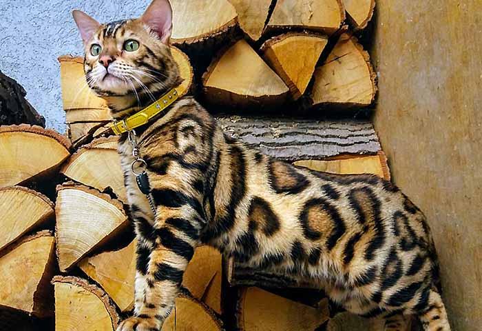Cat breeds available for sale   Club Le PETit WCF